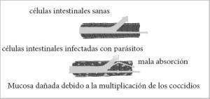 Efectos de la enfermedad en el cordero