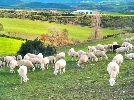 Ganadería de ovino