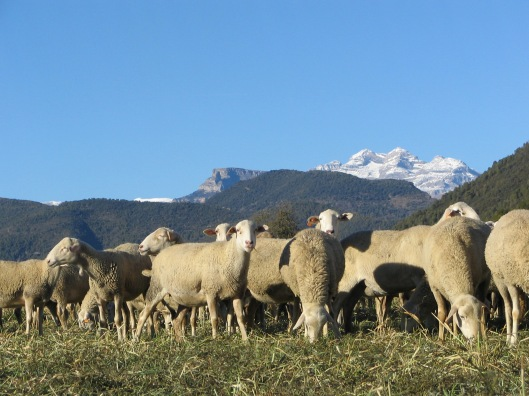 El ovino es sostenibilidad